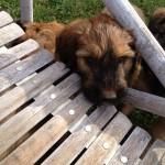 Cucciolo Briard